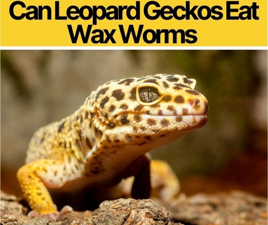 Can Leopard Geckos Eat Wax Worms -How &How much to Feed
