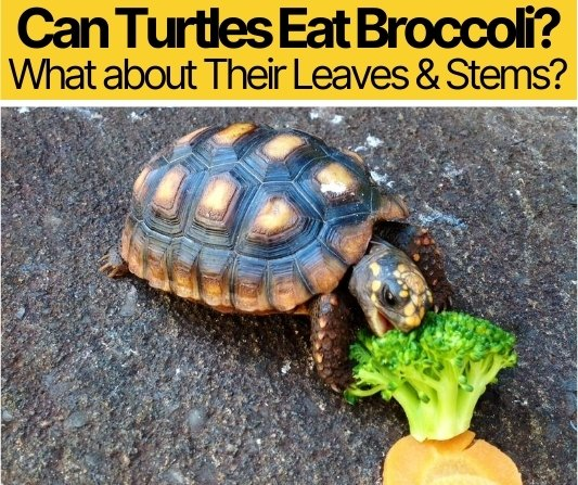 Can Turtles Eat Broccoli - What about Their Leaves & Stems?
