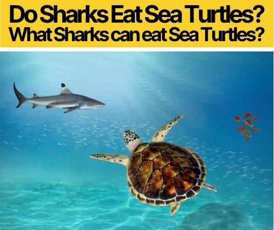 Do Sharks Eat Sea Turtles - What Sharks Eat Sea Turtles?