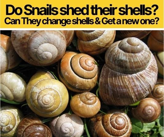 Do Snails Shed Their Shells? Do Snails Change Shells?