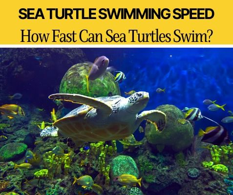 How Fast Can Sea Turtles Swim - Are they Fast Swimmers?