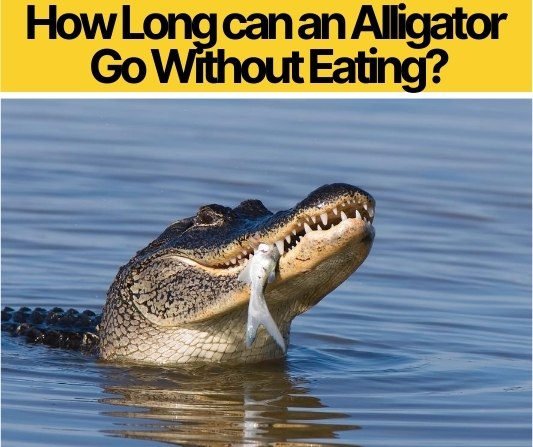 How Long can an Alligator Go Without Eating?