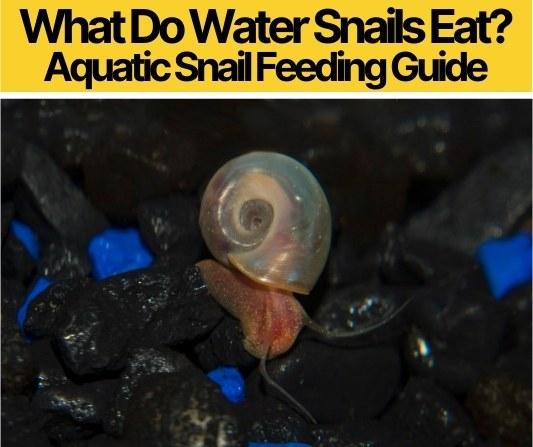 What Do Water Snails Eat -Aquatic Snail Feeding Guide
