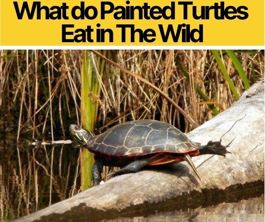 What do Painted Turtles Eat in The Wild - What To Feed them