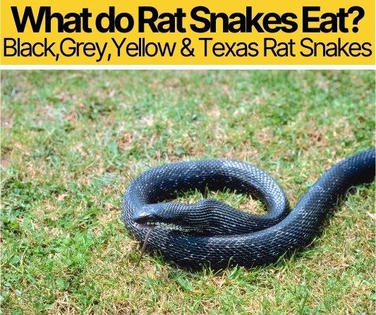 What Do Rat Snakes Eat - Black,Grey,Yellow,Texas Rat Snakes