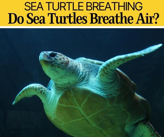 Do Sea Turtles Breathe Air -How Can Sea Turtles Breathe Underwater