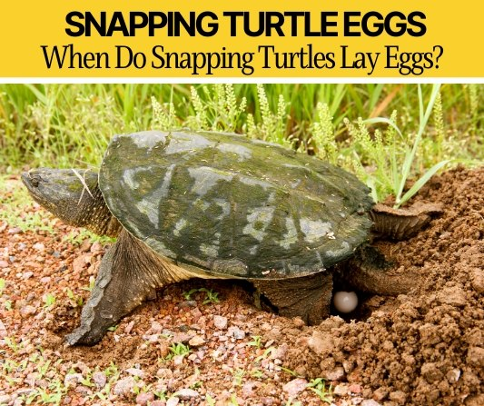 When Do Snapping Turtles Lay Eggs -How Many and Where?