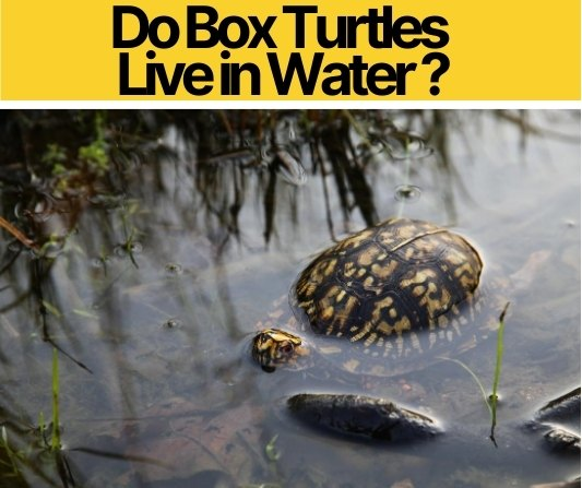 Do Box Turtles Live in Water
